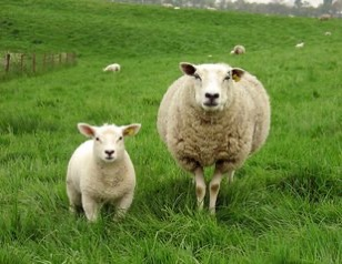 Sheep 1409992